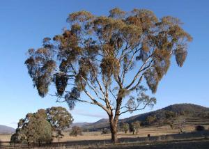 eucalyptus melliodora (yellow box) with heavy mistletoe infection