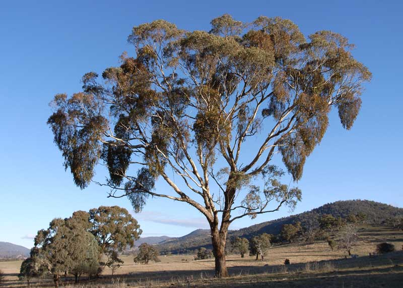 eucalyptus melliodora (yellow box) with heavy mistletoe infection